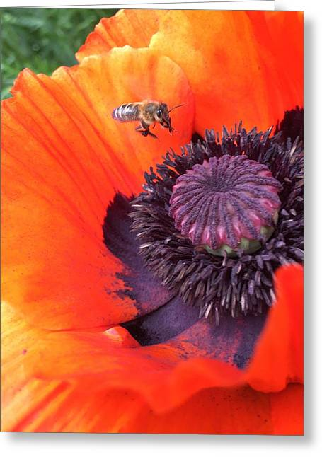 Bee Is Visiting A Poppy Greeting Card