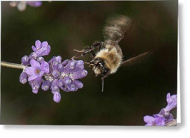 Bee Landing On Lavender Greeting Card