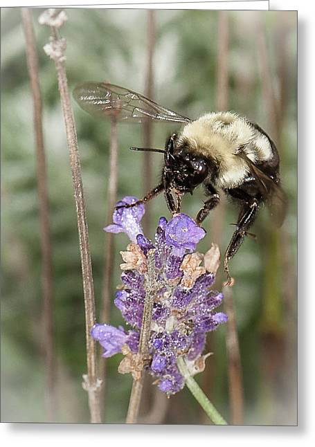 Bee Lands On Lavender Greeting Card