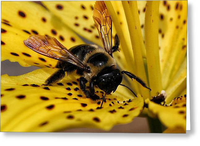 Bee On A Lily Greeting Card
