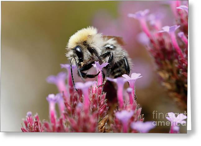 Bee On A Verbena Bonariensis Greeting Card by Nick Biemans