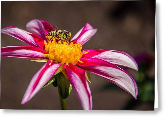 Greeting Card featuring the photograph Bee On Dahlia by Randy Bayne