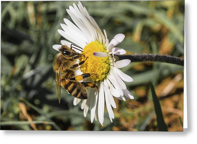 Bee On Flower Daisy Greeting Card