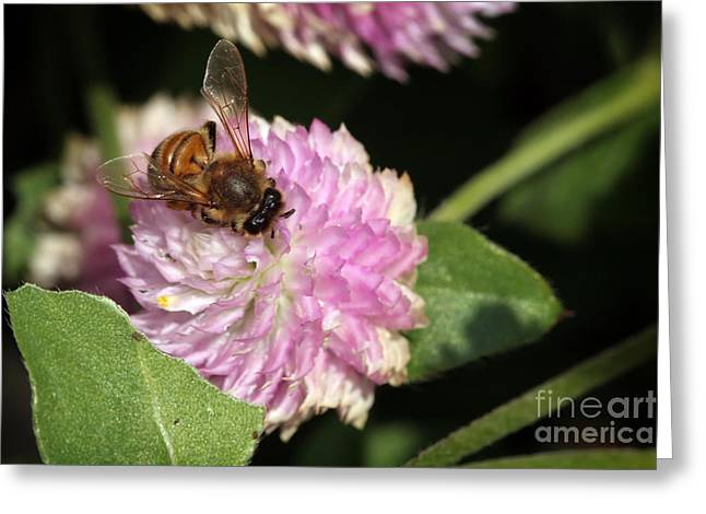 Bee On Gomphrena Greeting Card by Jeannie Burleson