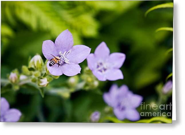 Bee On Lavender Flower Greeting Card