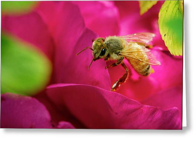 Bee On Rugosa Greeting Card