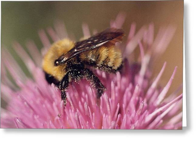 Bee On Thistle 103 Greeting Card by Diane Backs-Mancuso