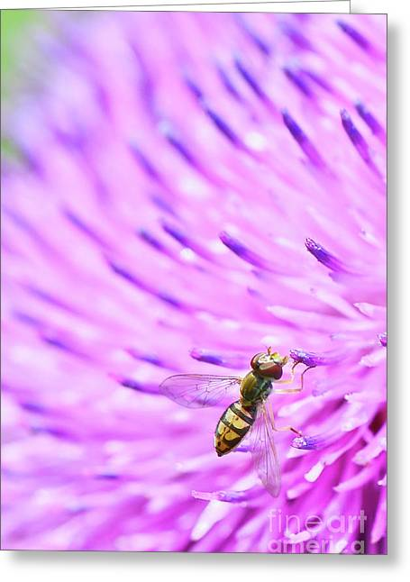 Sweat Bee On Thistle Greeting Card