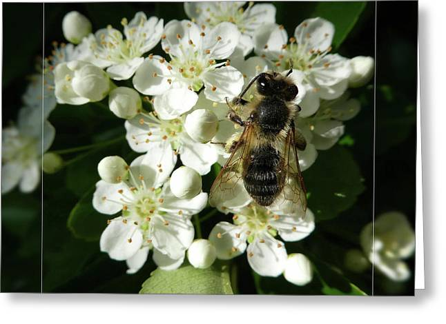Bee On White Flowers 2 Greeting Card by Jean Bernard Roussilhe