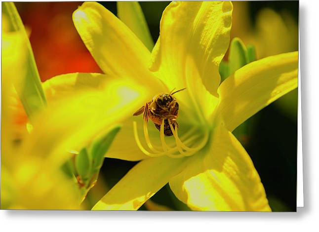 Bee On Yellow Lilly Greeting Card