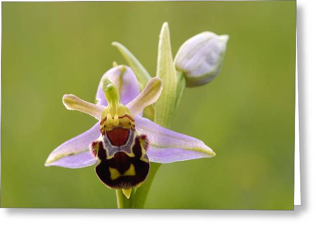 Bee Orchid Greeting Card by Liz Pinchen