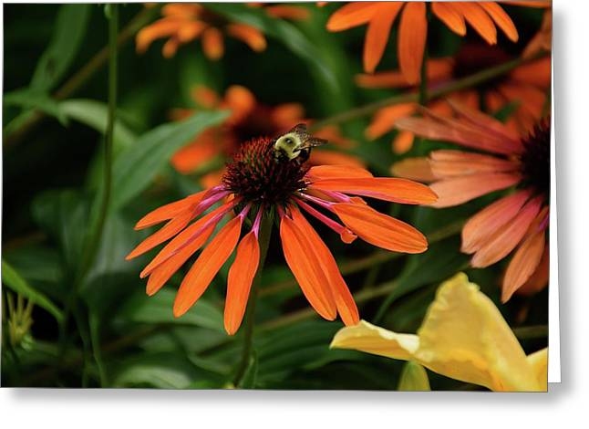 Bee Pollinating On A Cone Flower Greeting Card