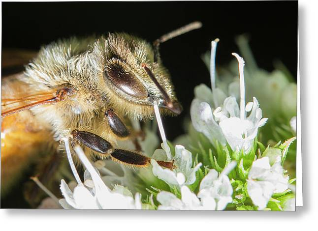 Bee Portrait Greeting Card by Mircea Costina Photography