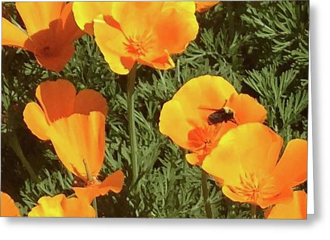 Bee Visits Poppies  Greeting Card