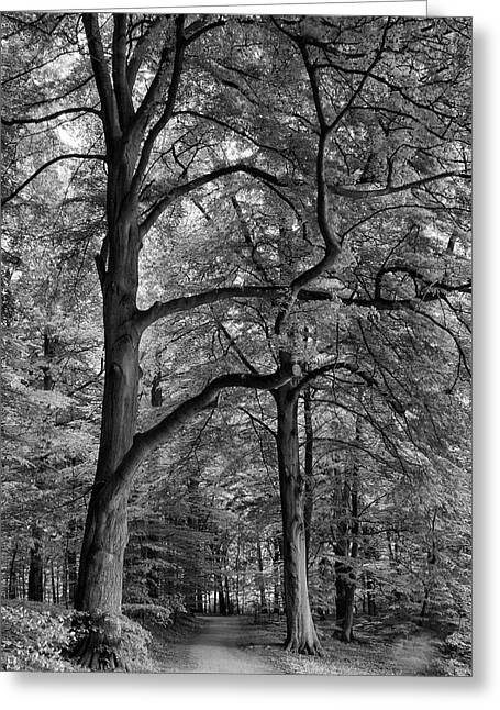 Beech Forest - 365-222 Greeting Card by Inge Riis McDonald