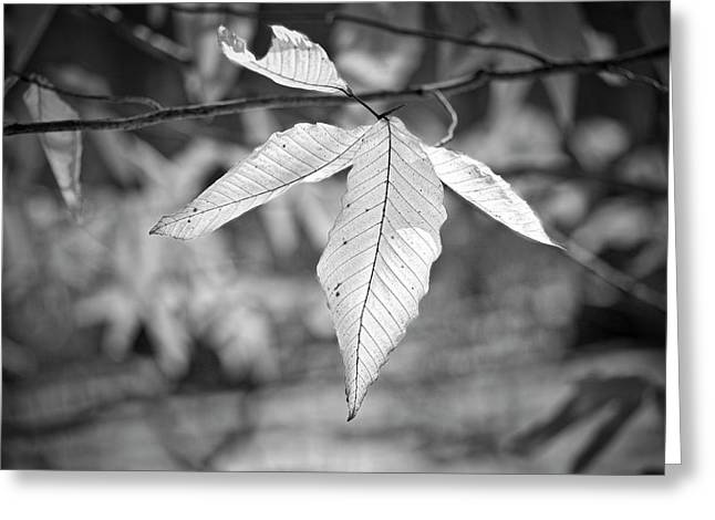 Beech Leaves - Uw Arboretum - Madison - Wisconsin Greeting Card