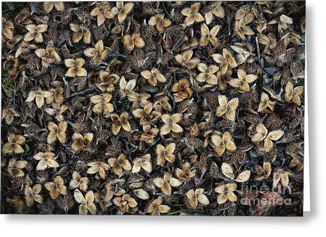 Beech Nut Husks Greeting Card by Tim Gainey