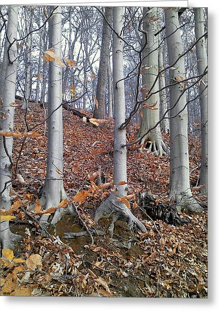 Greeting Card featuring the photograph Beech Trees by Melinda Blackman