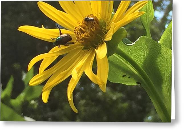 Beetle And Yellow Flower Greeting Card