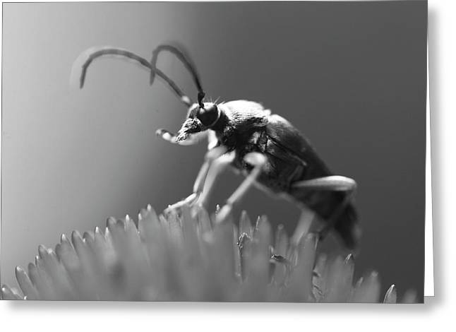 Beetle In Black And White Greeting Card