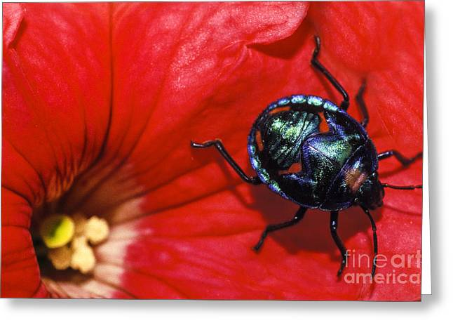 Beetle On A Hibiscus Flower. Greeting Card