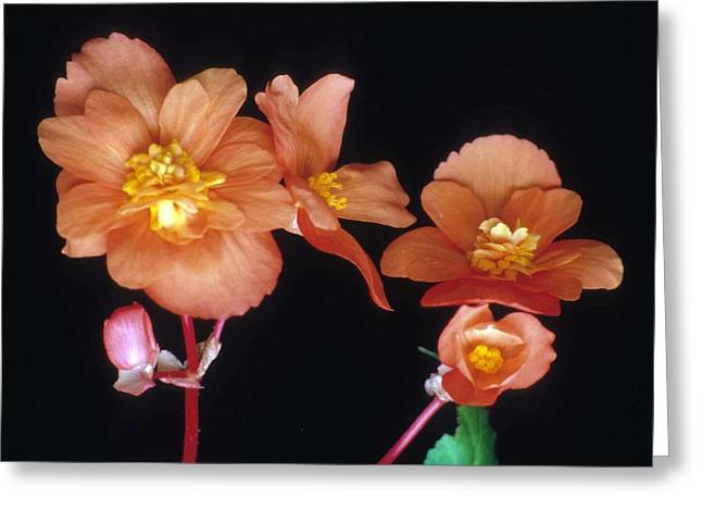 Begonia Buddies Greeting Card by Laurie Paci