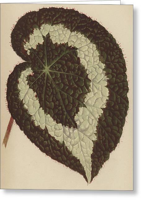 Begonia Rex Greeting Card by English School