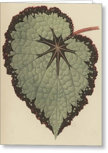 Begonia Rex, Variety Isis Greeting Card by English School