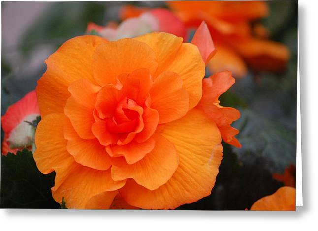 Begonia Sunrise Greeting Card
