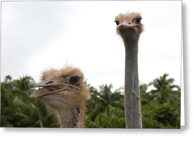 Ostrich Feathers Photographs Greeting Cards - Behave Greeting Card by Paul W Sharpe Aka Wizard of Wonders