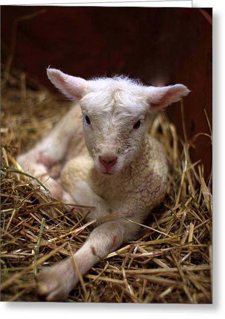 Behold The Lamb Greeting Card by Linda Mishler
