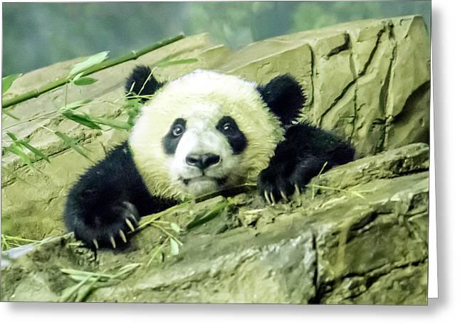 Bei Bei Panda At One Year Old Greeting Card