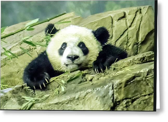 Bei Bei Panda At One Year Old Greeting Card