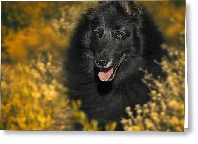 Belgian Sheepdog Portrait 5 Greeting Card by Wolf Shadow  Photography