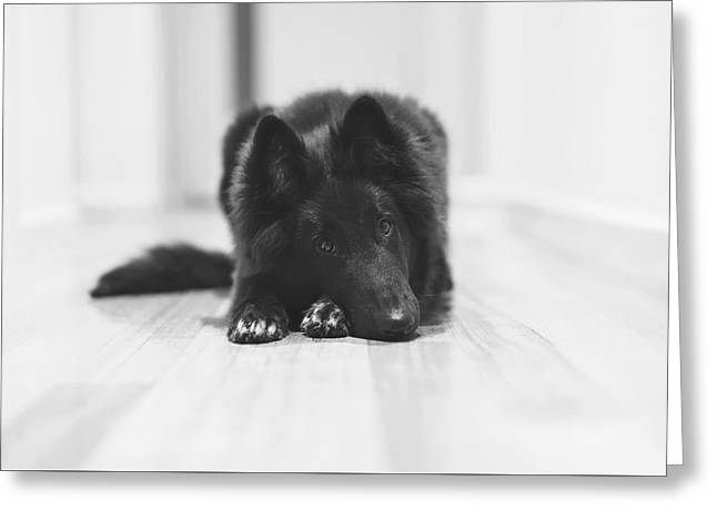 Belgian Sheepdog Puppy In Black And White Greeting Card by Wolf Shadow  Photography