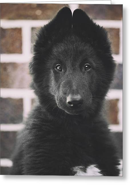 Belgian Sheepdog Puppy Portrait Greeting Card by Wolf Shadow  Photography