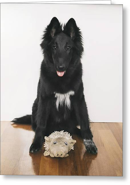 Young Belgian Shepherd Posing With Toy Greeting Card