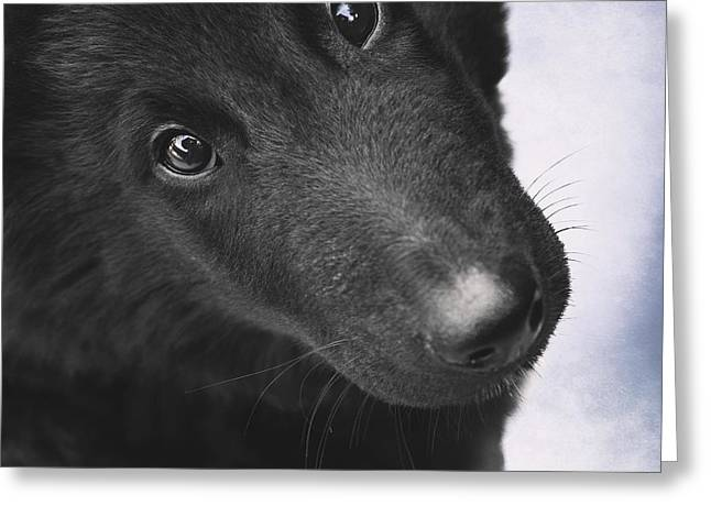 Belgian Shepherd Puppy Greeting Card by Wolf Shadow  Photography