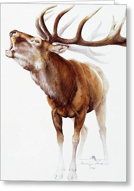 Belling Stag Watercolor Greeting Card