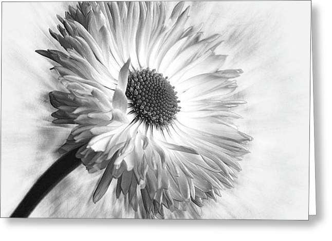Bellis In Mono  #flower #flowers Greeting Card by John Edwards
