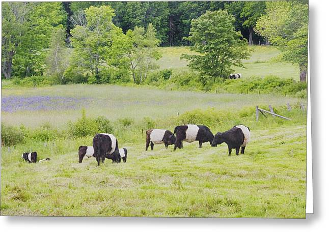 Belted Galloway Cows Rockport Maine Poster Prints Greeting Card