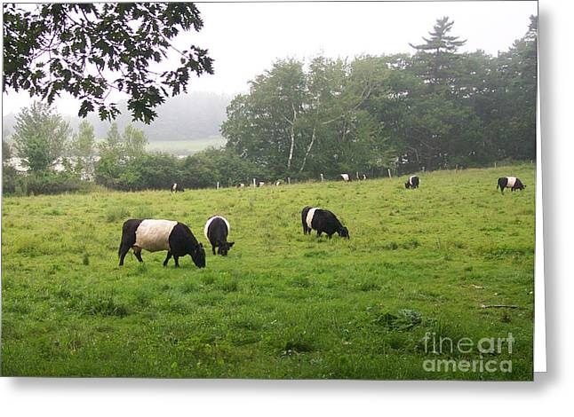 Belted Galloways 2 Greeting Card by Linda Drown