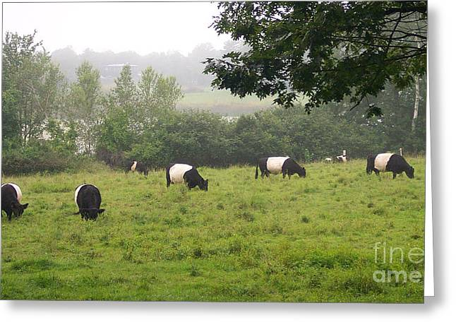 Belted Galloways In Field Greeting Card by Linda Drown