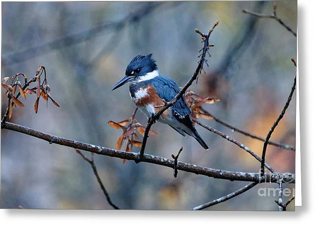 Belted Kingfisher Perch Greeting Card