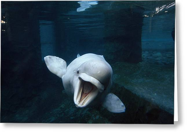 Beluga Whale Swimming With An Open Greeting Card by Paul Sutherland