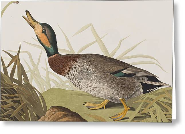 Bemaculated Duck Greeting Card by John James Audubon