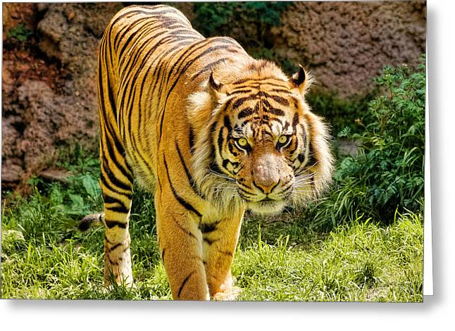 Bengal Tiger Greeting Card by Jon Woodhams