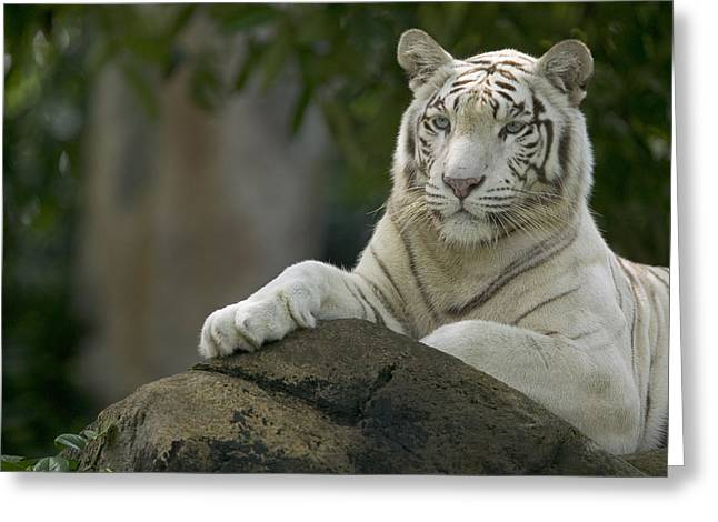 Tigris Greeting Cards - Bengal Tiger Panthera Tigris Tigris Greeting Card by Cyril Ruoso