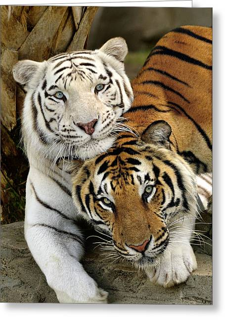 Bengal Tigers At Play Greeting Card