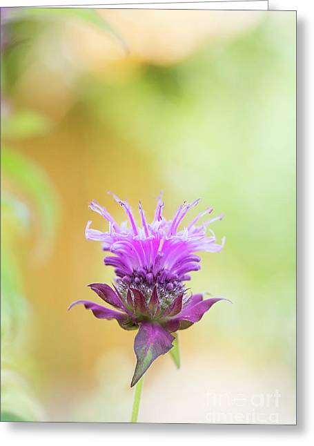 Bergamot Flower Greeting Card